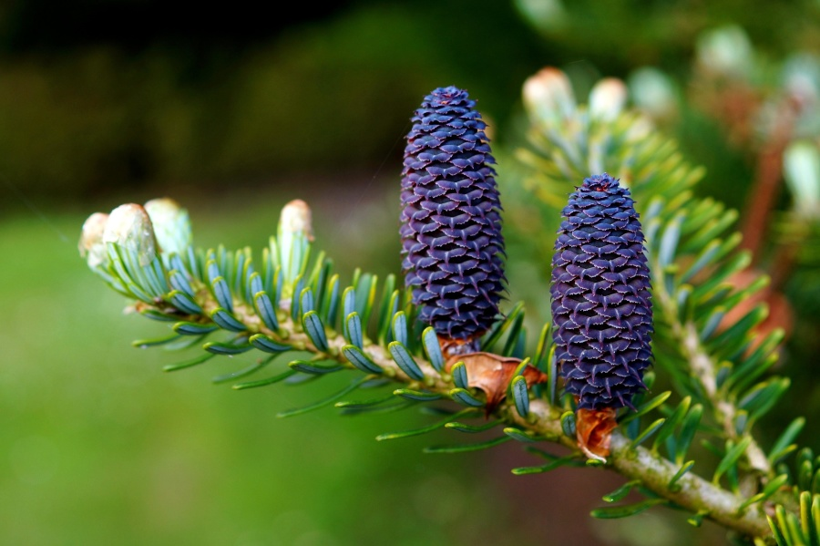pinecone, branch, fir, plant, tree