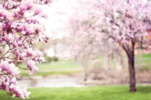 Rosa, magnolia, träd, våren, orchard, jordbruk