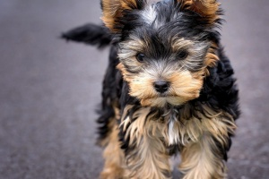 кученце, Йоркширски териер, териер, куче, кучета