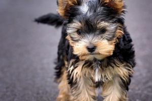 Cucciolo, yorkshire terrier, terrier, cane, cane