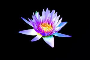 water lily, lotus, flower, plant, decoration, leaf, color, flora, darkness