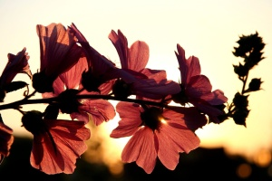 red, flower, sunset, red, petal, dusk