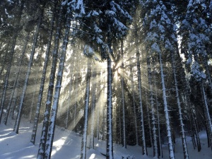 Sole, neve, foresta, ghiaccio, paesaggio, albero, abete, congelato