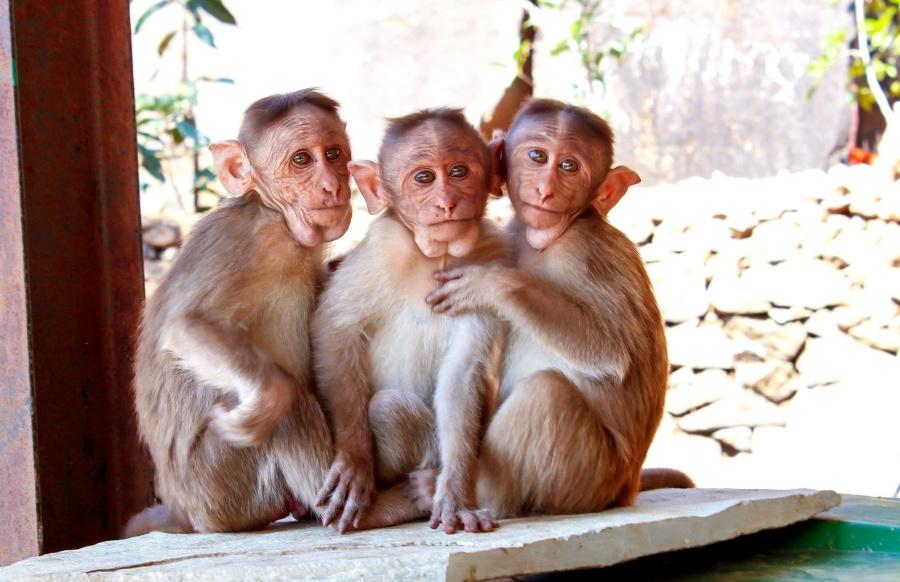 opice, primát, makak, zvíře