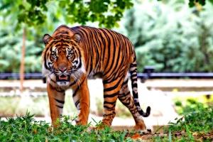 tiger, wild, feline, tiger, cat, predator