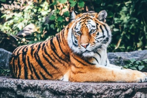 tiger, wild, predator, animal, fauna, feline, cat, animal