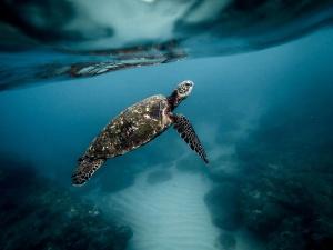 turtle, ocean, water, loggerhead, reptile
