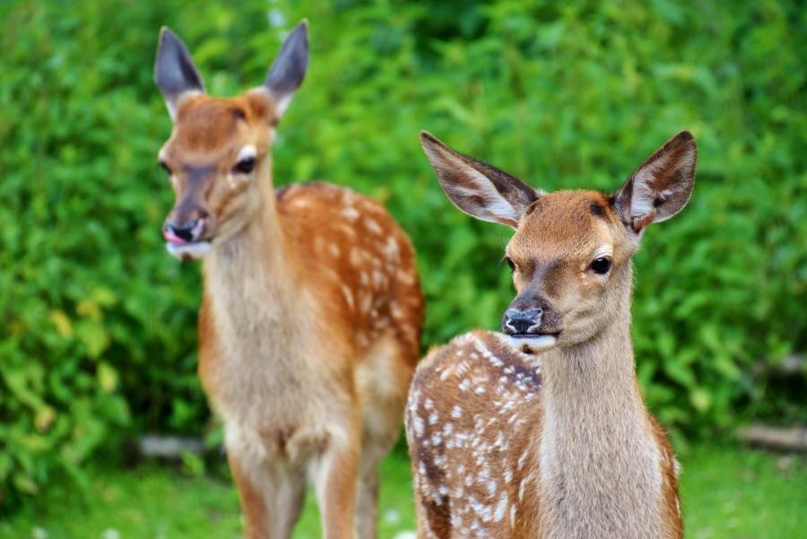 Imagen gratis salvaje venado animal fauna marr n for Capriolo animale