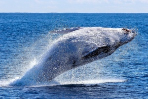 whale, ocean, nature, animal, wave