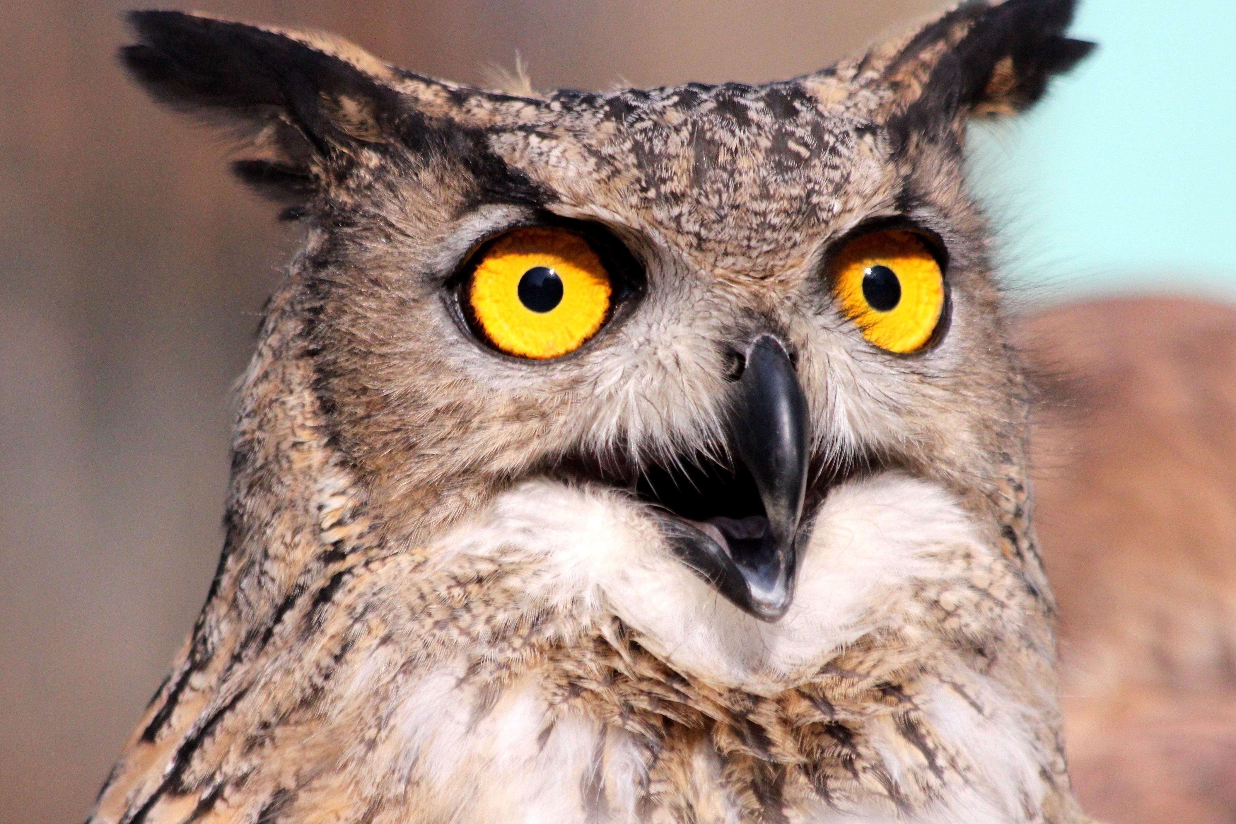 Foto gratis occhio gufo uccello - Image de chouette gratuite ...