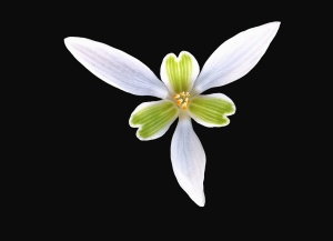 flower, petal, plant, pistil, stamen