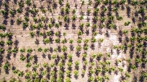 палмово дърво, почва, слънце, листа