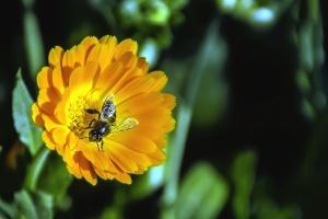 Abeja, flor, polinización, polen, planta, insecto