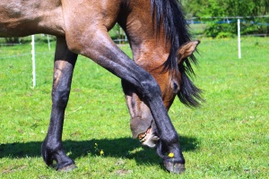 Cavallo, animale, capelli, gamba, zoccolo, erba, testa