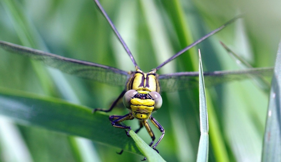 dragonfly, insect, leaf, plant, wetland