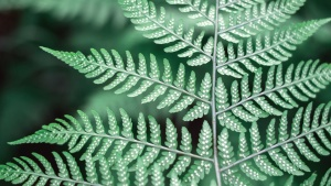 fern, leaf, plant, stalk, nature, forest