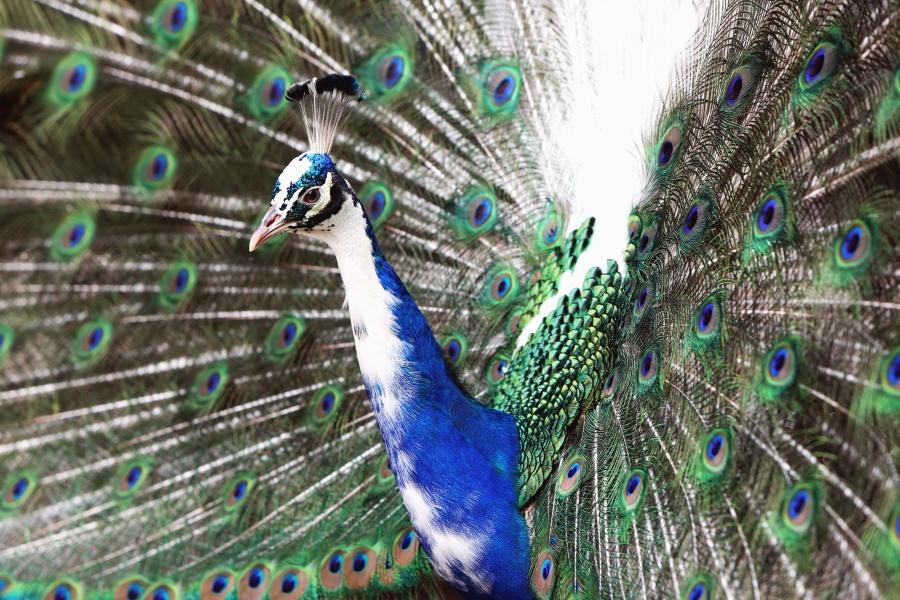 Indijski paun, ptica, kljun, perja, životinjskih, oko