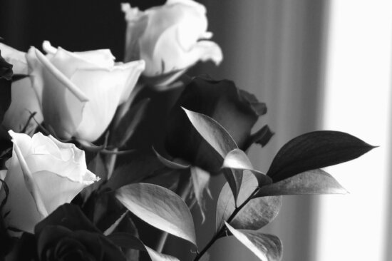 Rosa, todavía, vida, hoja, pétalo, flor, planta