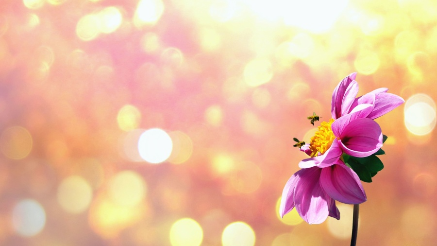 λουλούδι, ήλιος, ανθοφορία, πέταλο, μέλισσα, επικονίαση, γύρη