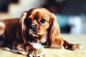 pes, hlava, oči, papule, labky, uši, vlasy, zviera, pet