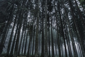 wood, forest, tree, nature, fog