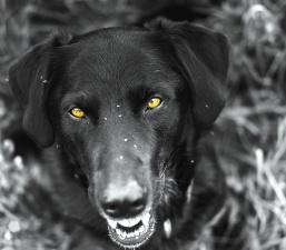 hund, dyr, kæledyr, øjne, hoved, fotomontage