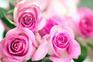 バラ、蕾、花びら。庭の花、ピンク、葉