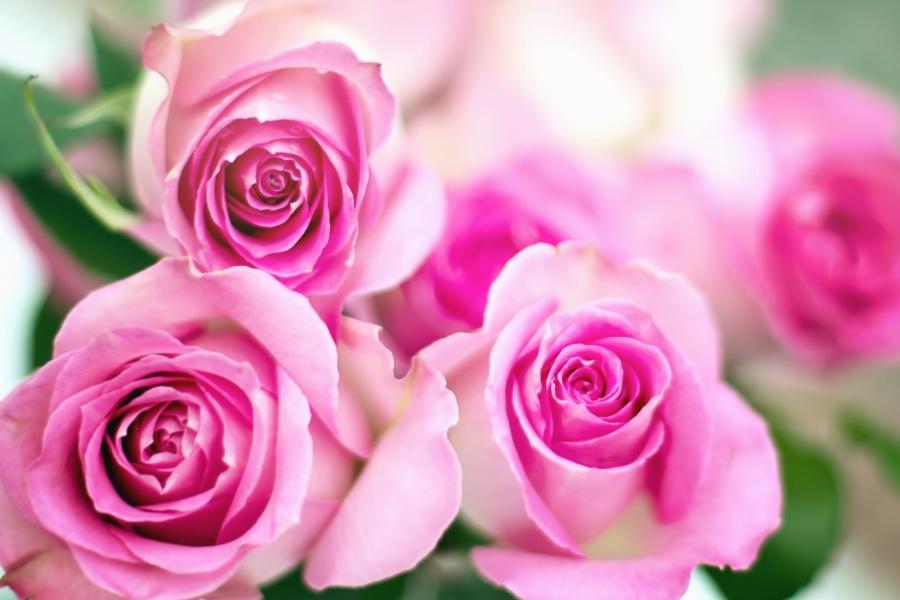 růže, okvětní lístek, bud. květina, růžová, listí, zahradní