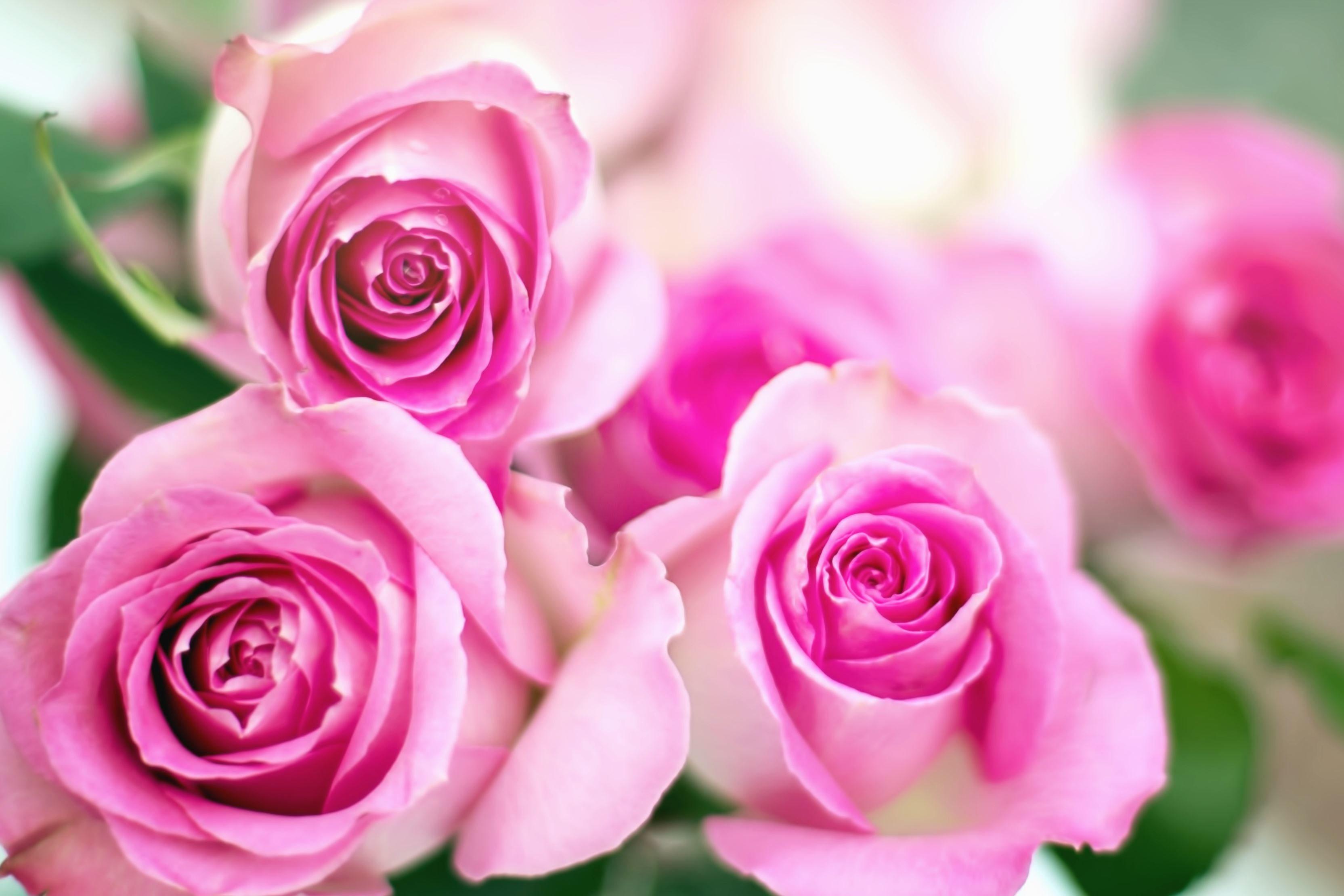 Gratis Afbeelding Rozen Bud Bloemblad Bloem Roze Blad Tuin
