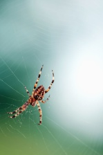 spider, arthropod, network, trap, insect, colorful, crusader