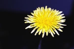 dandelion, petal, flower, macro, pollen