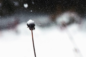 stems, plant, snow, winter, cold, withered, cold, ice