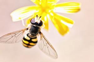Abeja, alas, insecto, flor, polen, polinización