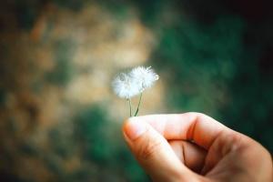 dandelion, plant, flower, plant, spring, grass, sun, summer, hand, finger, meadow