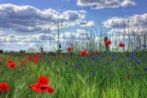 grass, poppy, bloom, nature, spring, sky
