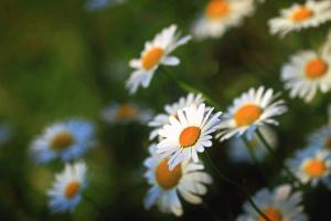 daisy, plant, petals, nature, spring, pollen