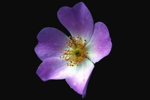 Flover, blumenblatt, rosa, flovers, flora, orchidee, pflanze, mit blumen, garten