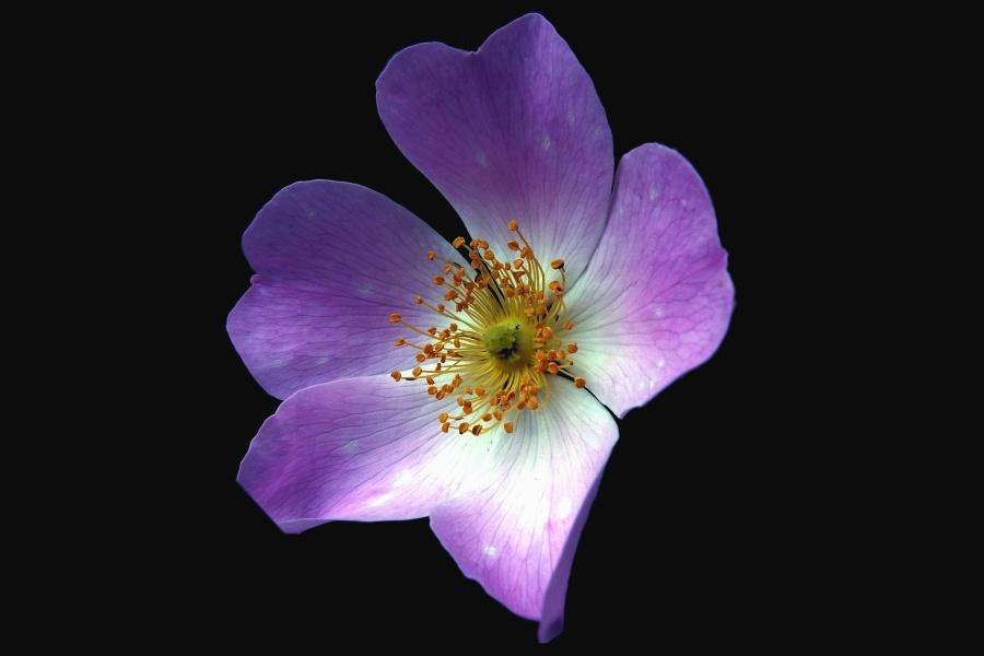 cvijet, latica, ružičasta, cvijeće, flora, orhideja, biljka, cvjetni, vrt