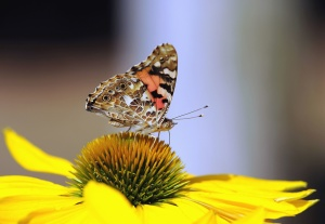 vlinder, petal, bloem, lente, stuifmeel, bestuiving, plant, insect