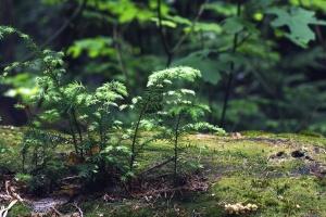 Pianta, albero, giardino, primavera, foresta, estate, foglia, quercia, ambiente, felce