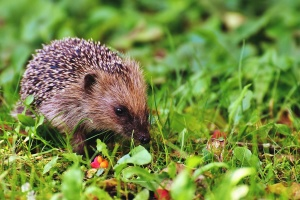 hedgehog, grass, animal, nature