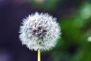 flower, dandelion, herb, plant, seed