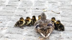 duck, bird, animal, feather, duckling, bird