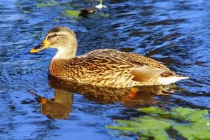 duck, bird, waterfowl, feather, animal, wildlife, water
