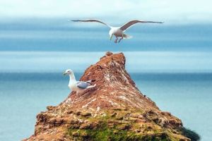 seagull, rocks, birds, beak, feather, sea, water