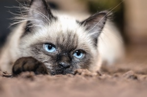cat, pet,whiskers, ears, eyes, blue, fur