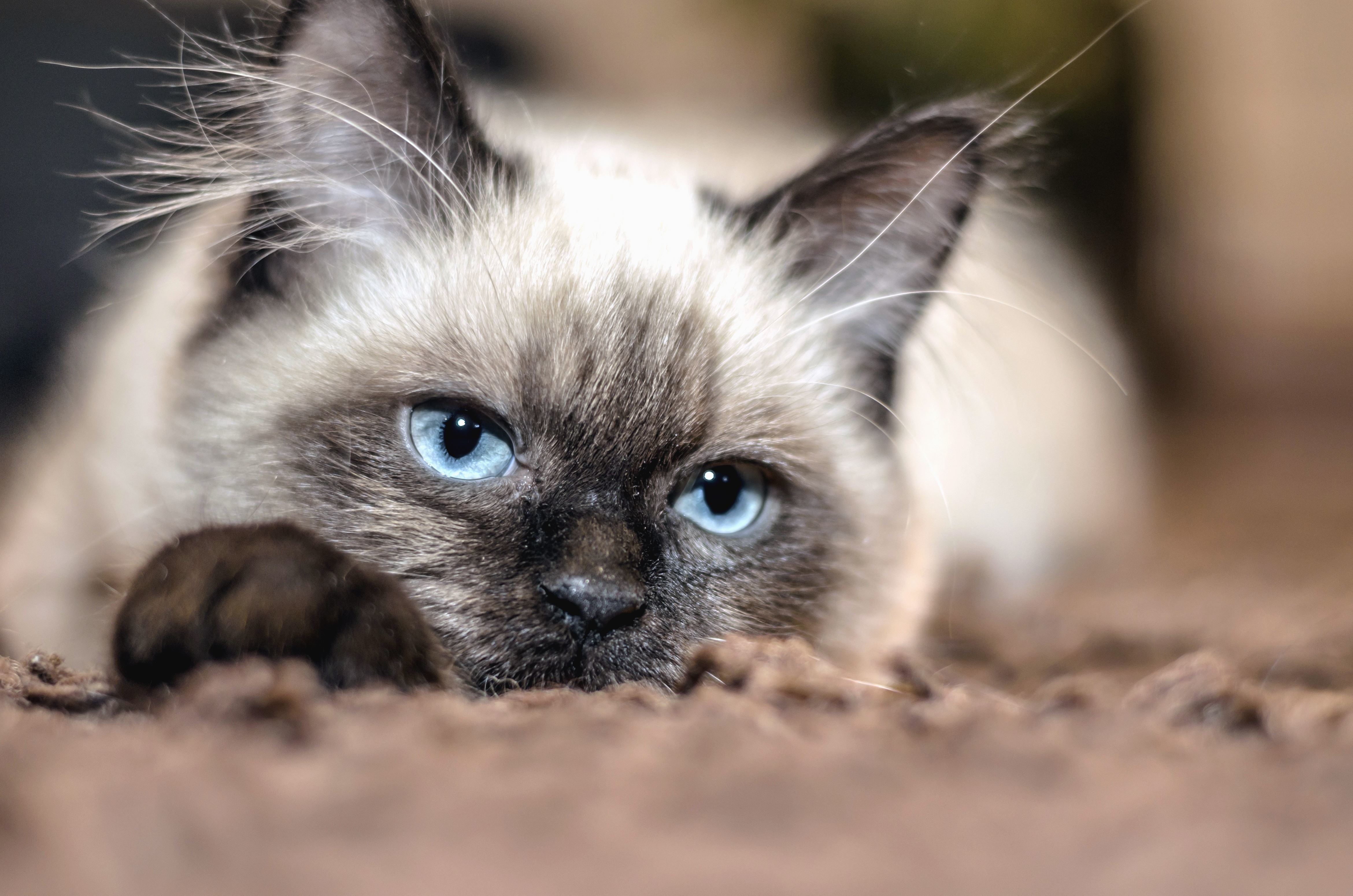 Free picture cat pet whiskers ears eyes blue fur