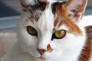 cat, animal, domestic animal, eyes, fur