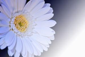 flower, daisy, pistil, nectar, flowering, petal, pollen, plant, white
