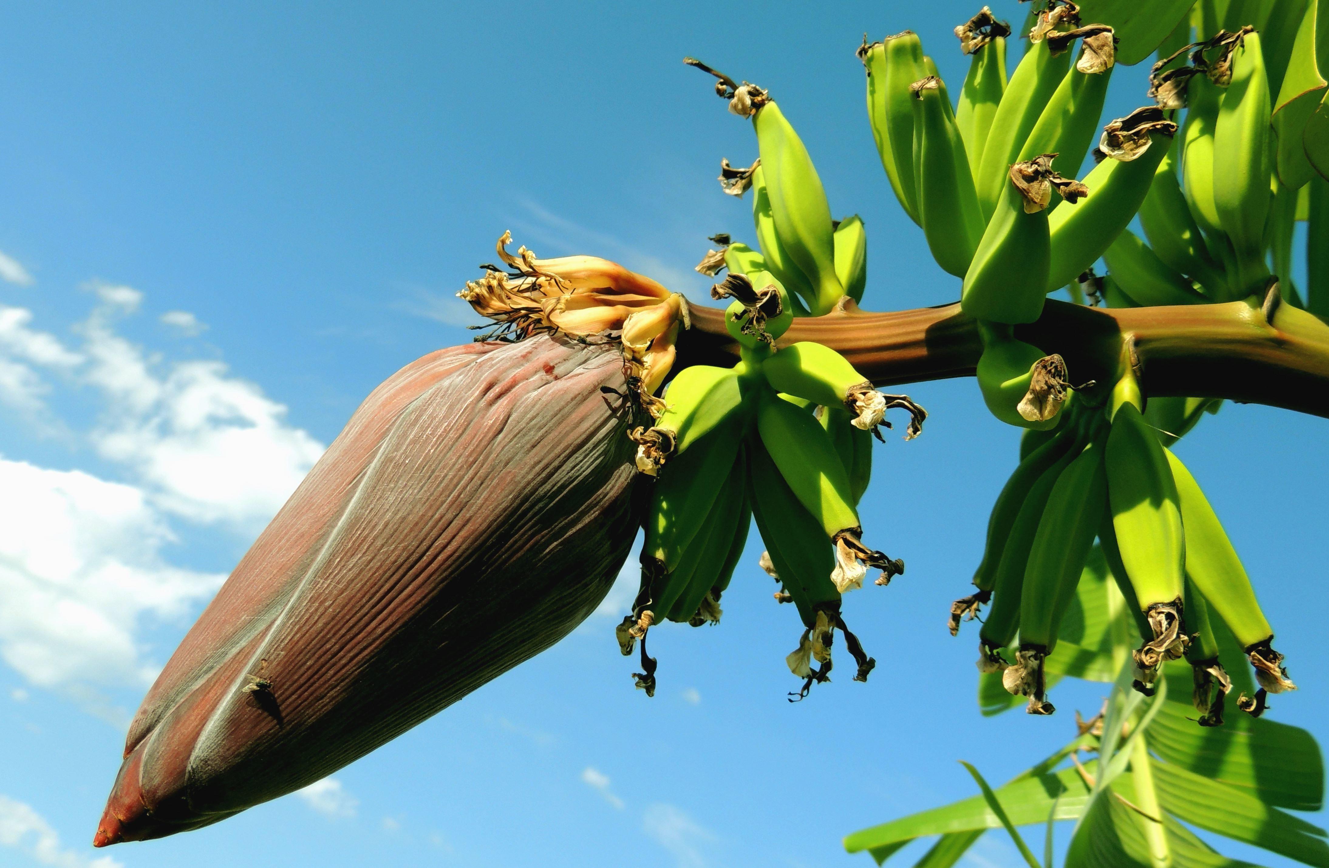 Imagen Gratis Pl Tano Rbol Tropical Rama Plantas Fruta # Muebles Hoja De Banano